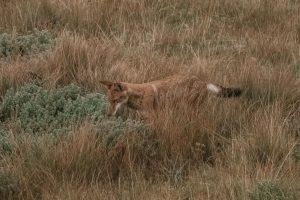 Menz Guassa Ethiopian Wolf
