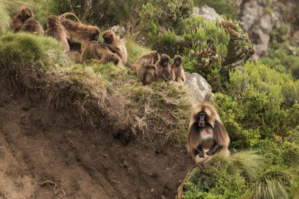 Guassa Gelada Baboons
