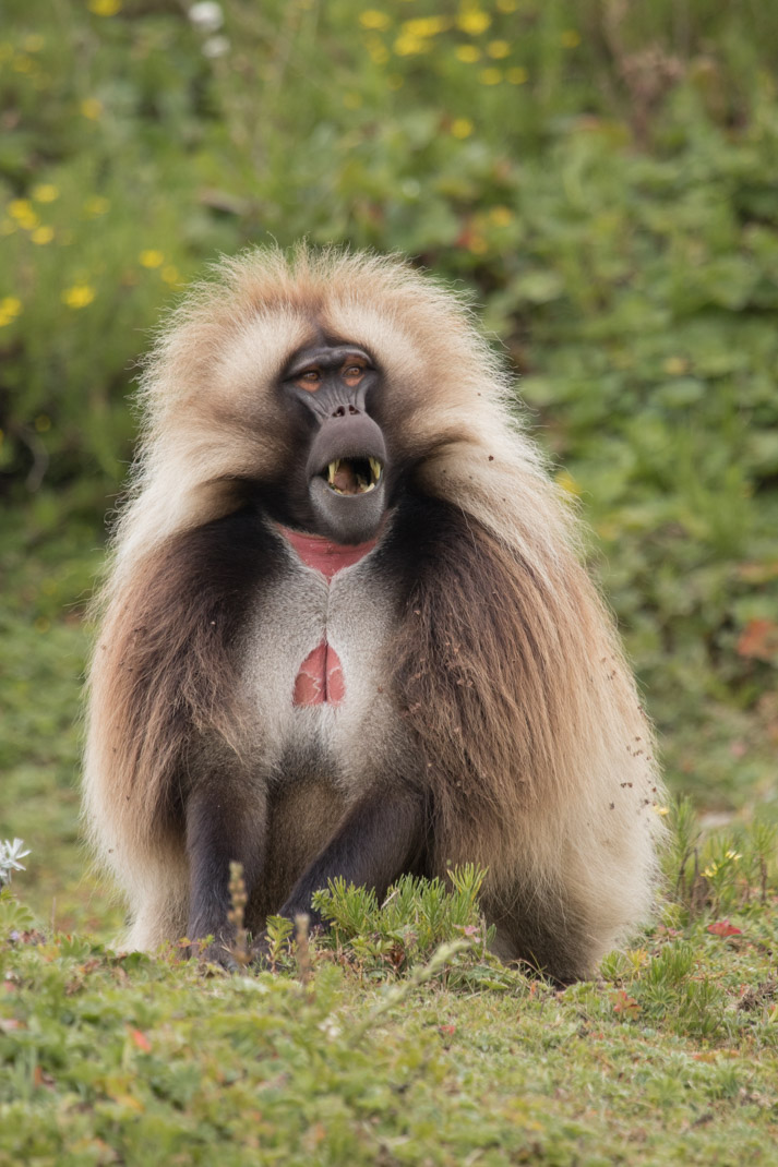 Male Gelada in the Simien Mountains