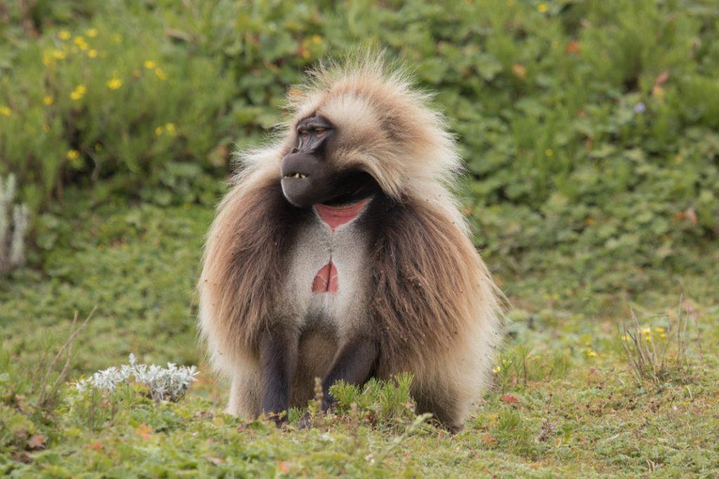 The Gelada Baboon - Ethiopia