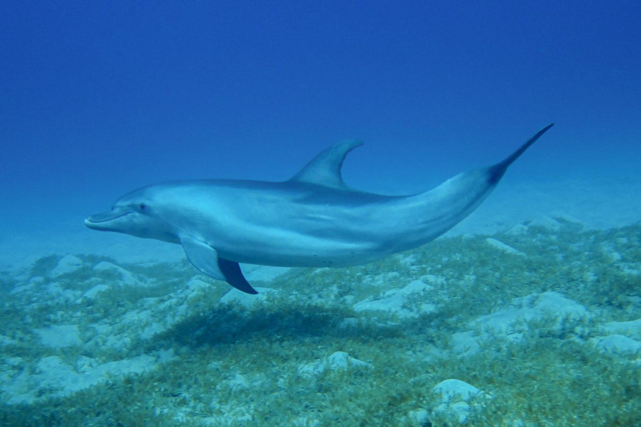 Bottlenose Dolphin - Red Sea, Egypt