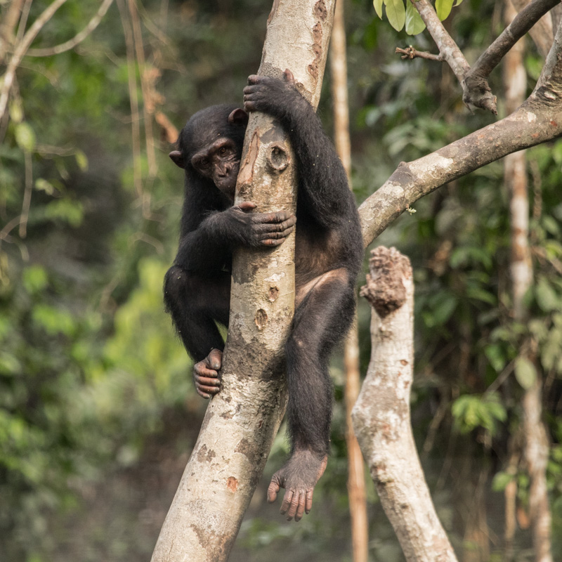 Chimpanzee in Afi Drill Ranch, Nigeria