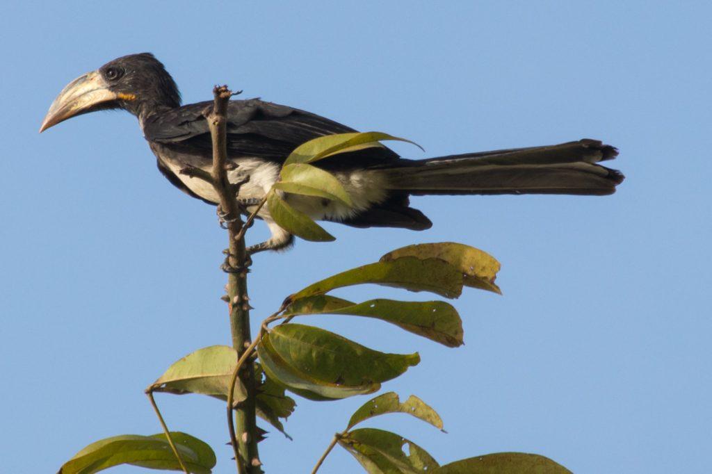 Pied Hornbill, Gabon