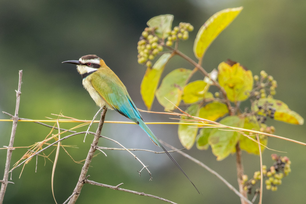 Bee-eater in Lope National Park, Gabon
