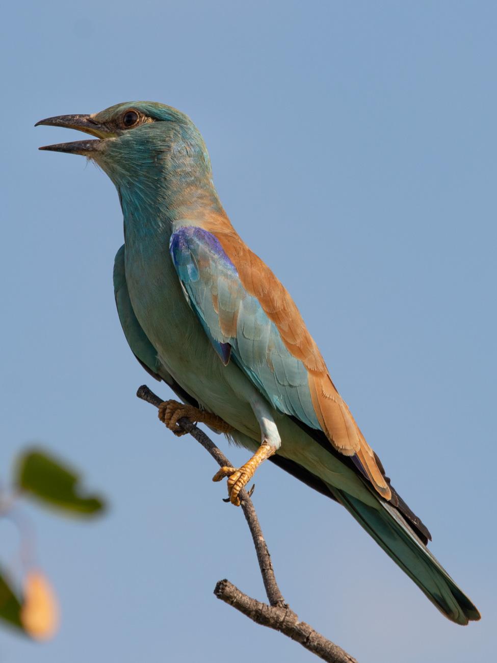 European Roller, Etosha National Park