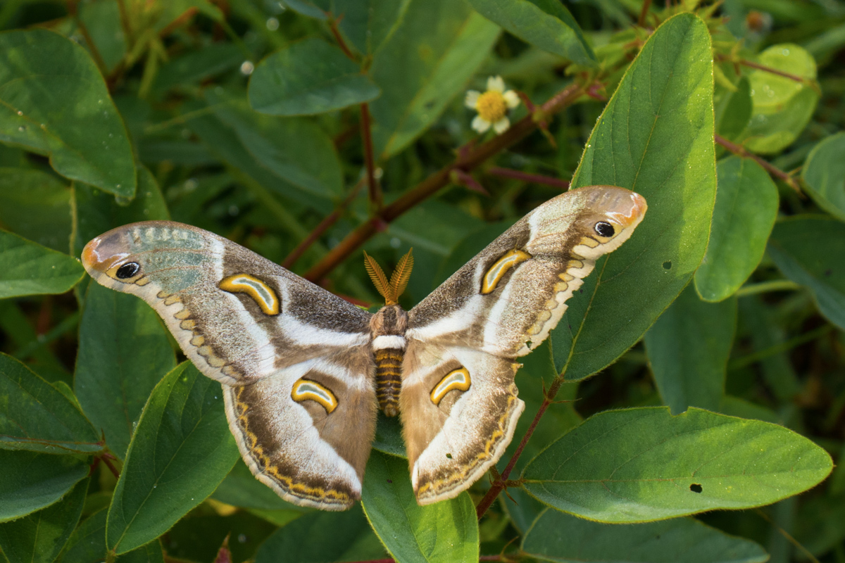 Angolan Moth - Pungo Andongo