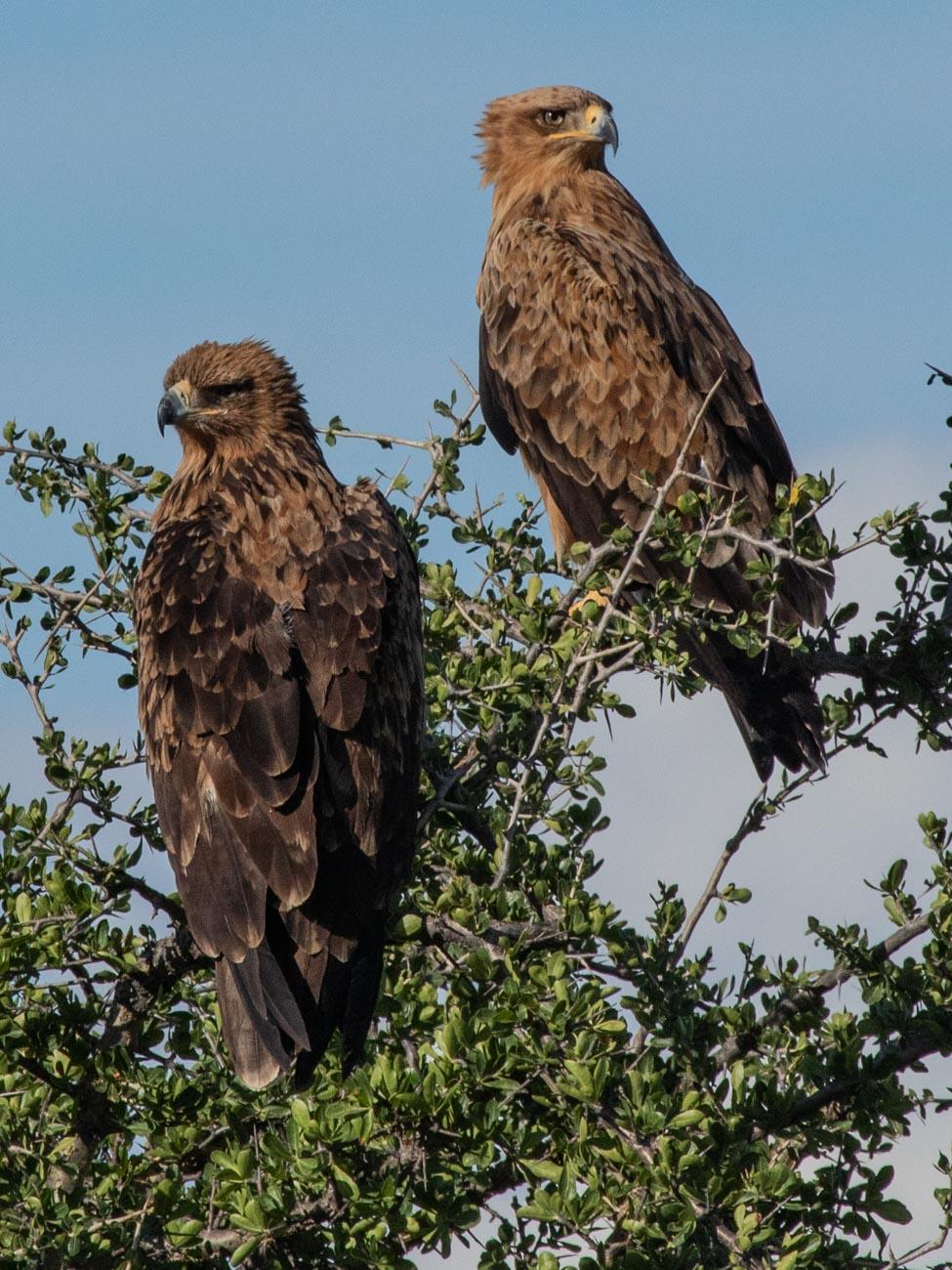 Tawny Eagles, Etosha National Park