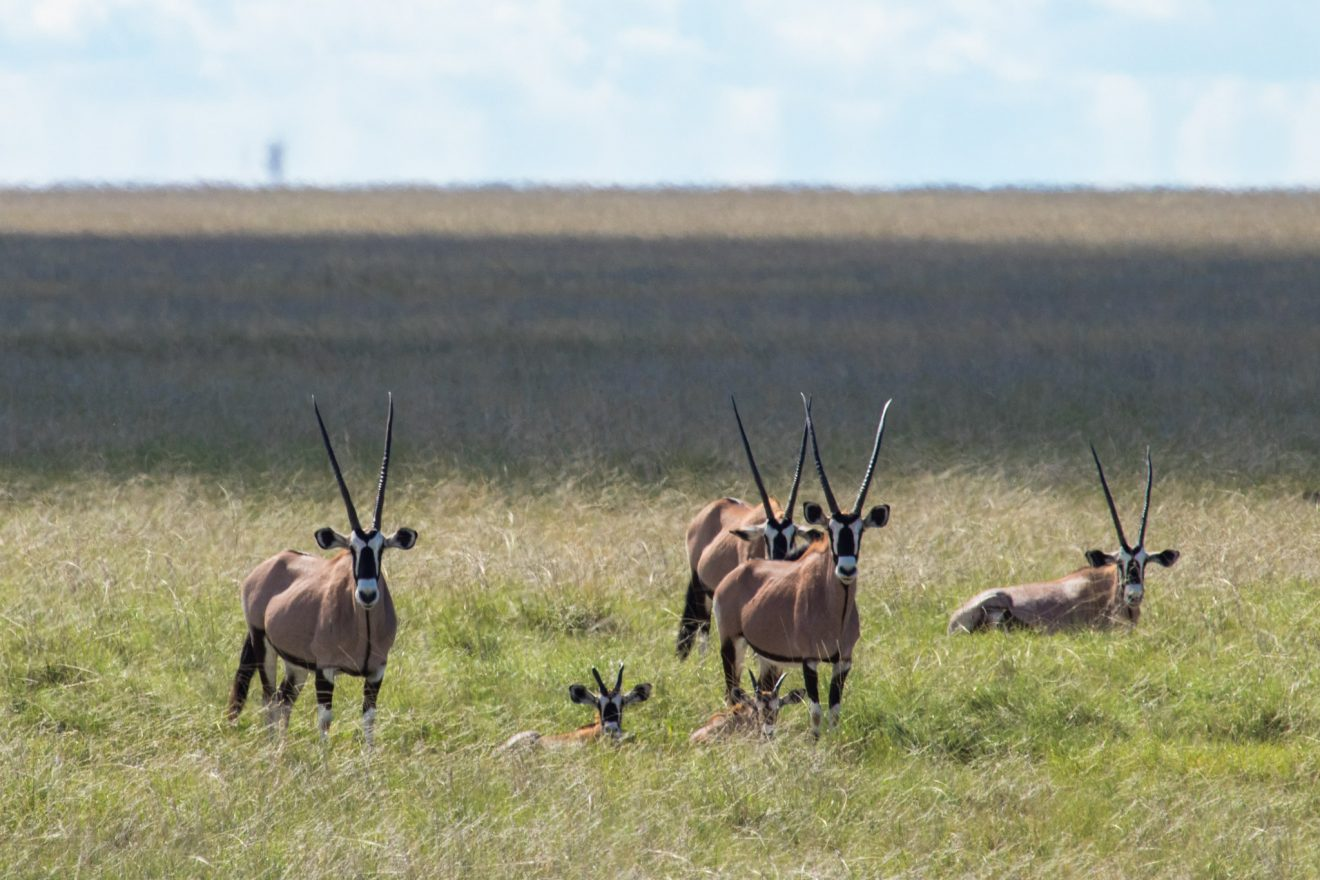 Gemsbok Oryx, Etosha National Park