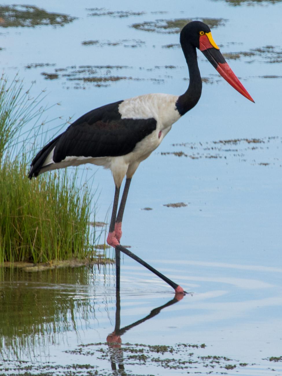 saddle-billed Stork in Etosha National Park