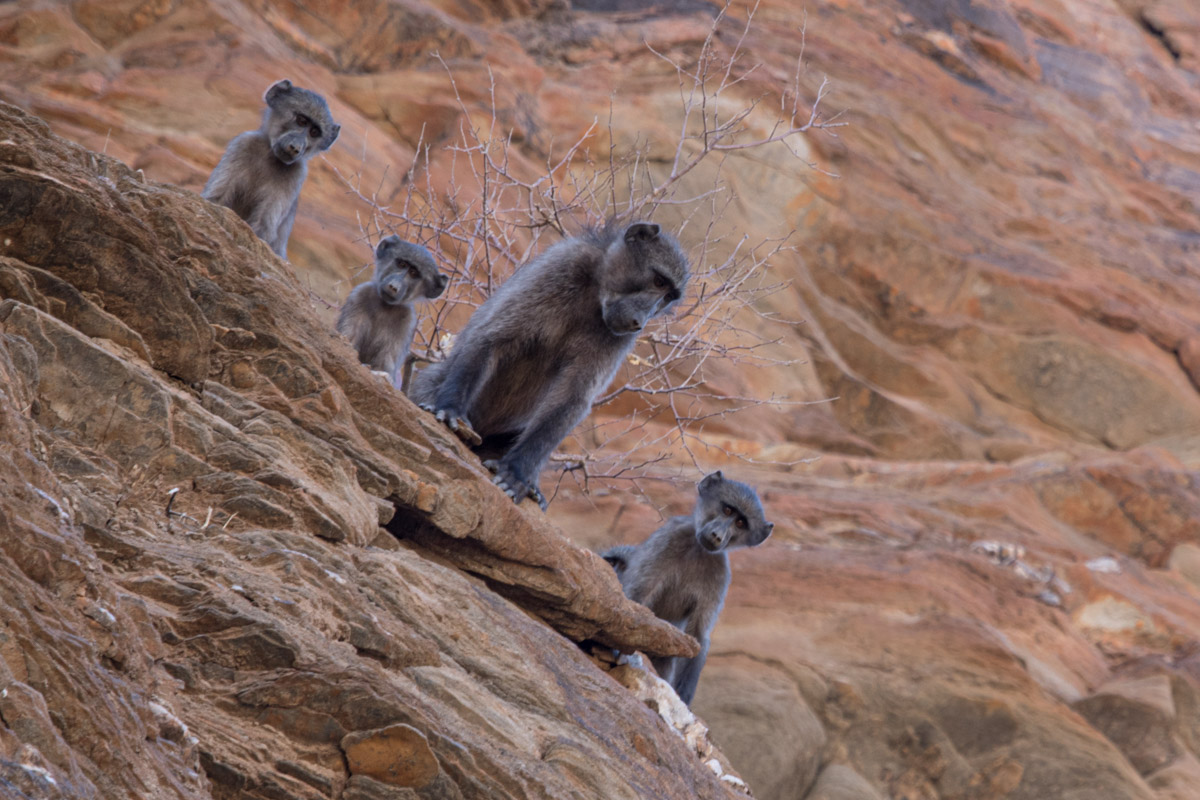 Chacma Baboon -  Namib-Naukluft National Park