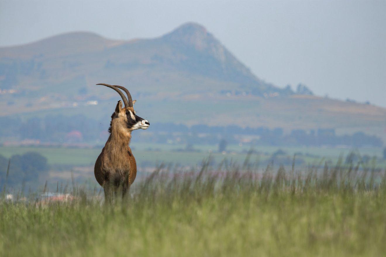 Swaziland Roan