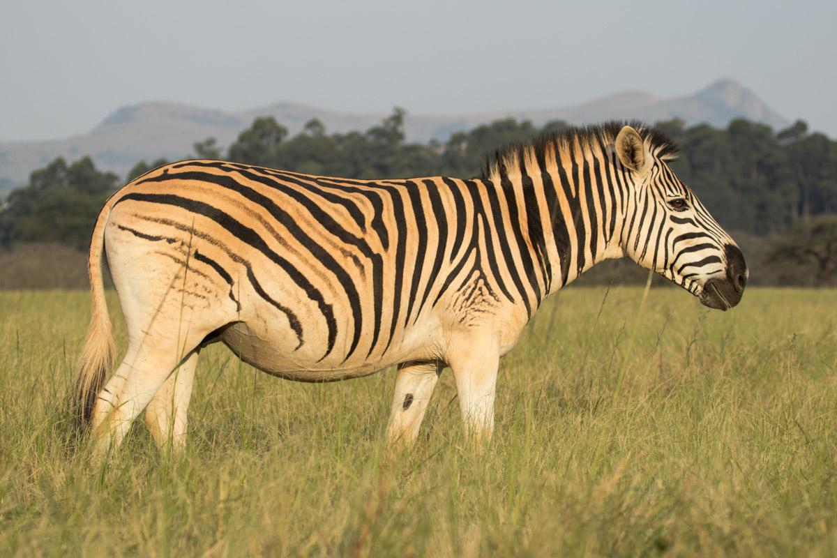 Zebra - Mlilwane Wildlife Sanctuary