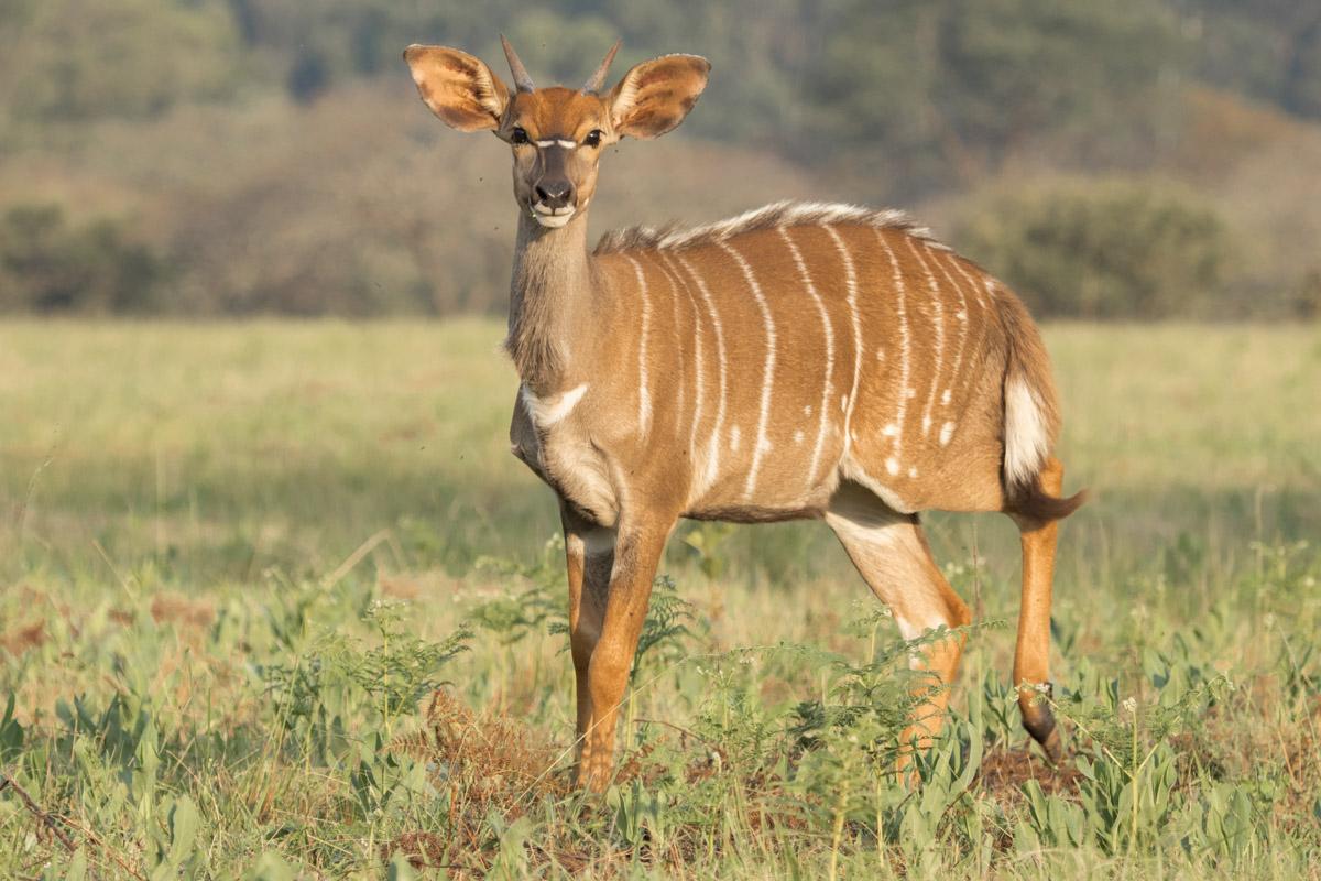 Impala - Mlilwane Wildlife Sanctuary