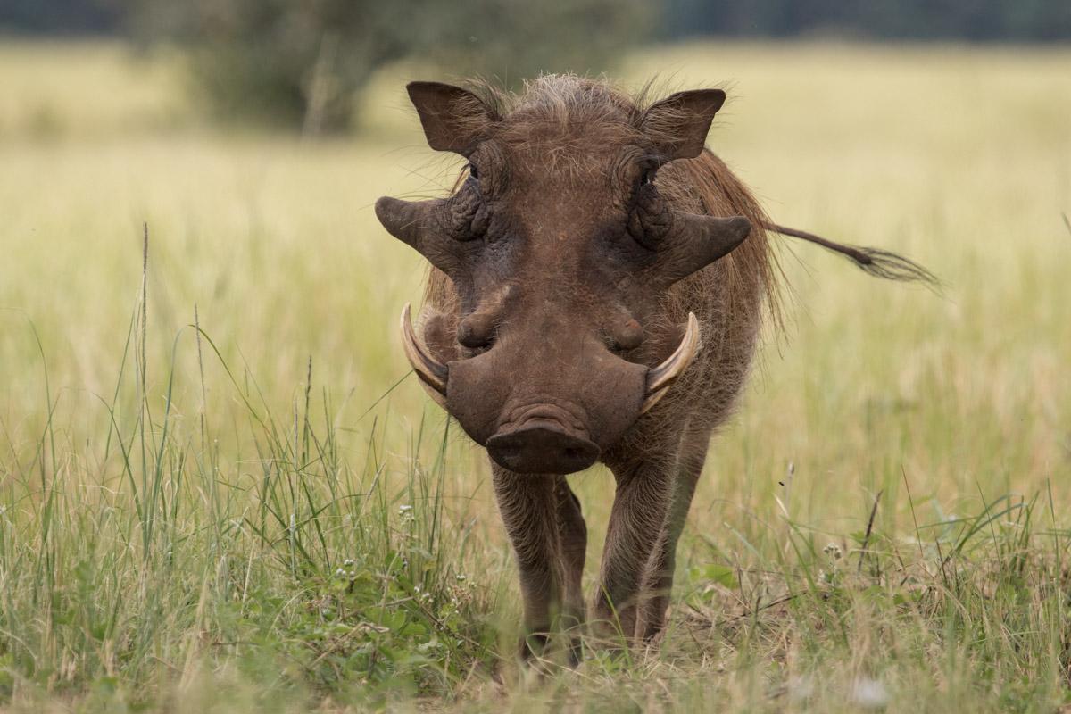 Wathog- Mlilwane Wildlife Sanctuary