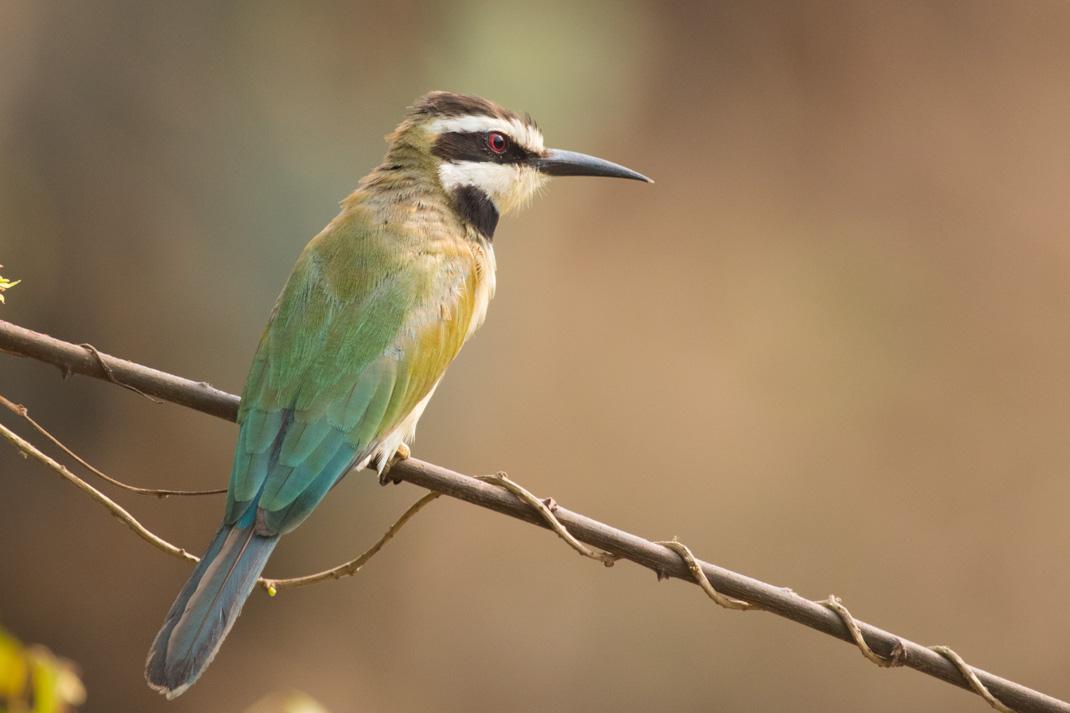White-Throated Bee-eater, Grand Popo, Benin
