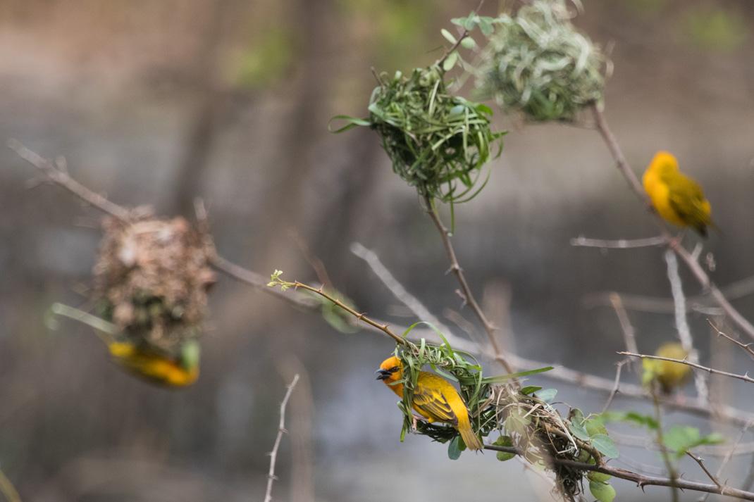 Weaver Birds, Grand Popo, Benin