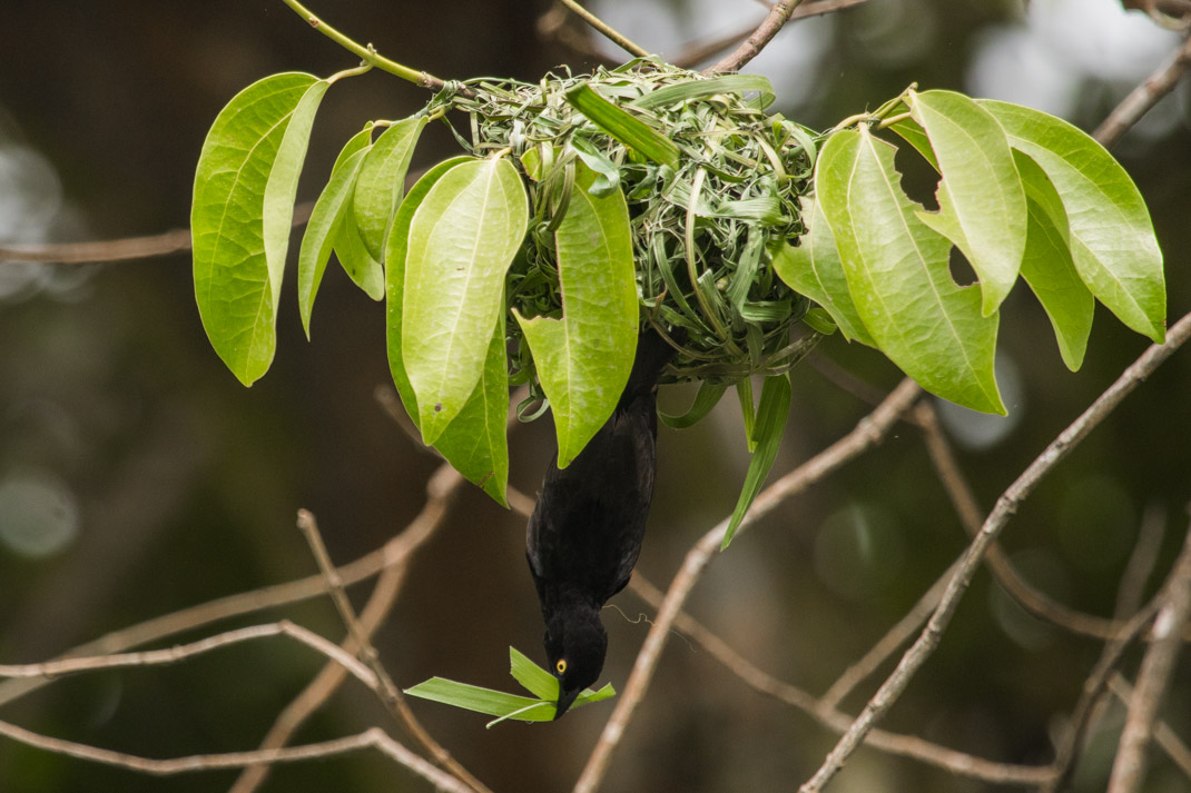 Weaver bird in Limbe Botanical Garden