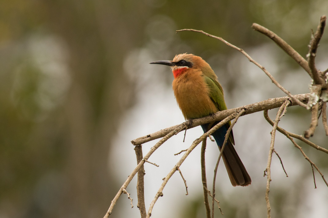 White-fronted Bee-eater, Democratic Republic of the Congo