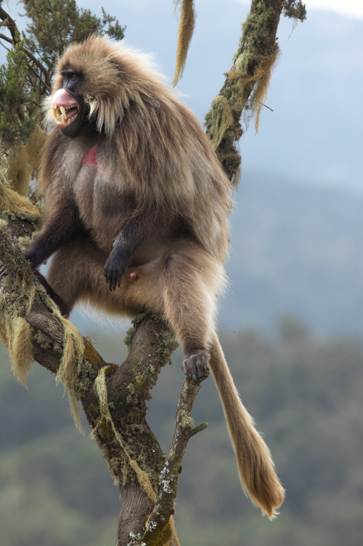 Gelada - Day 4 of Hiking the Simien Mountains