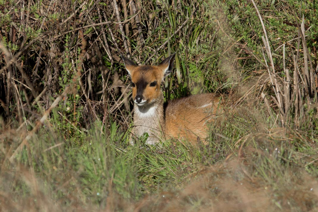 Bushbuck in the Simien Mountains