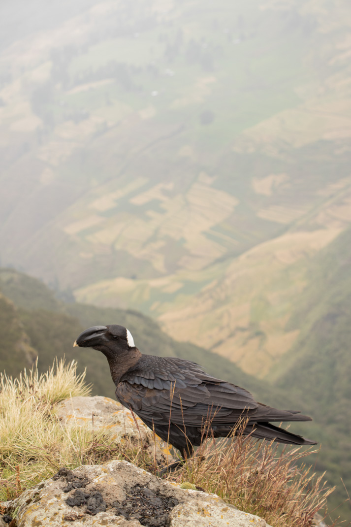 Chenek Raven - Hiking the Simien Mountains