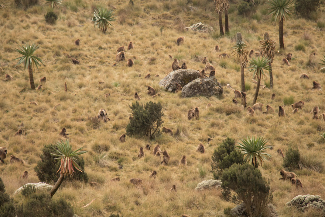 Gelada grazing in the Simien Mountains