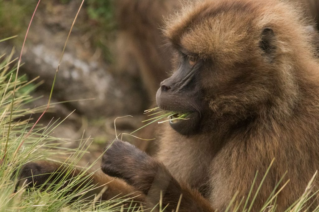 Gelada Eating