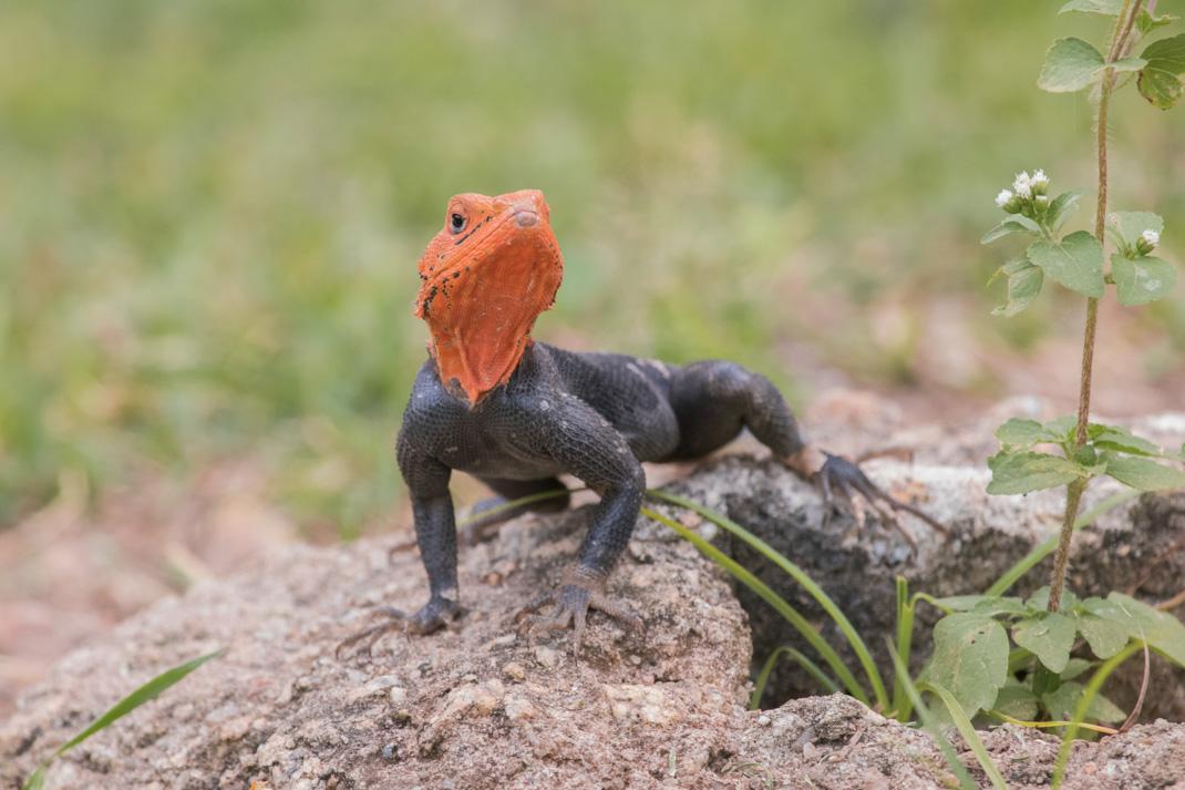 Kakum National Park Rainbow Agama