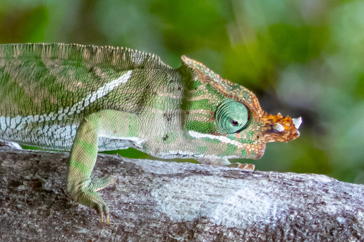 Blue-Legged Chameleon - Exploring Ranomafana National Park
