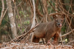 Fosa of Kirindy Forest