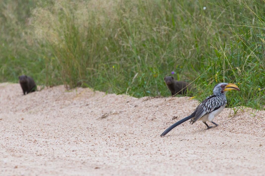 Hornbill & mongoose at Kruger National Park