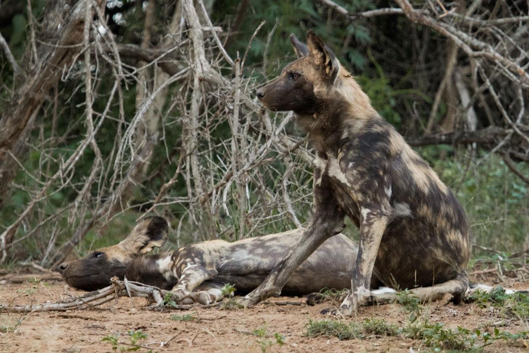 Wild Dogs at Kruger National Park