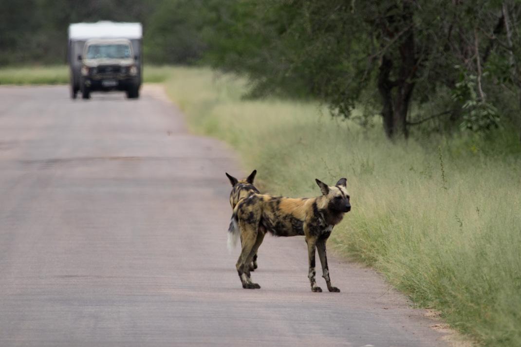 Painted Wolves at Kruger National Park