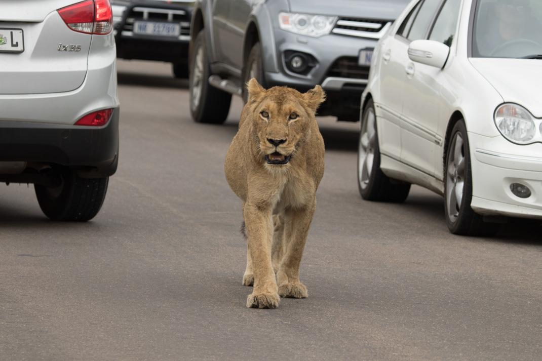 Kruger Lioness at Kruger National Park