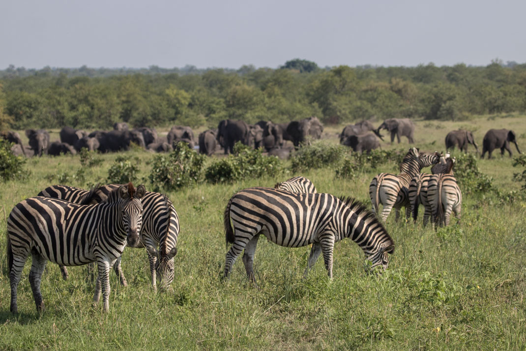elephant zebra