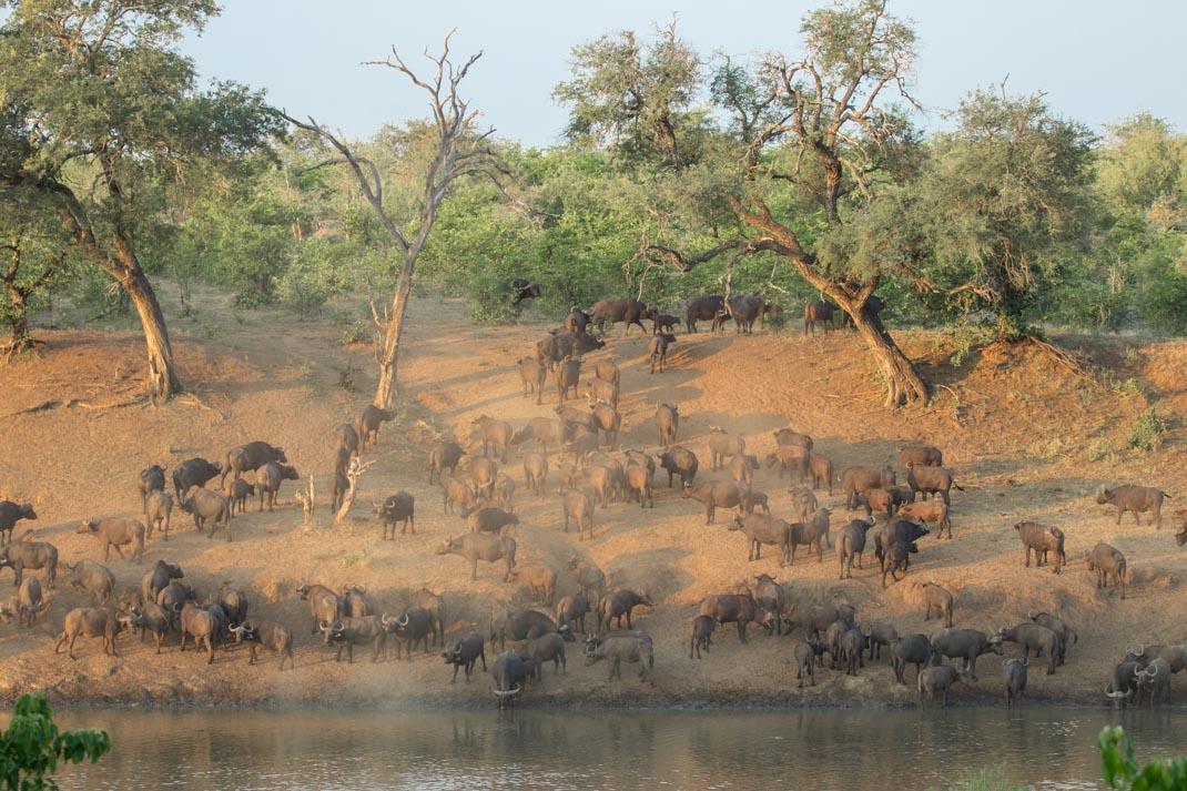 drinking buffalo at Kruger National Park