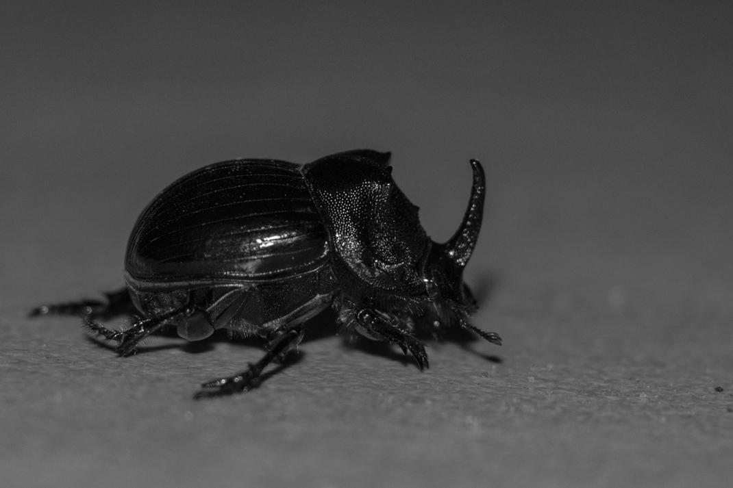 Rhinoceros beetle at Kruger National Park
