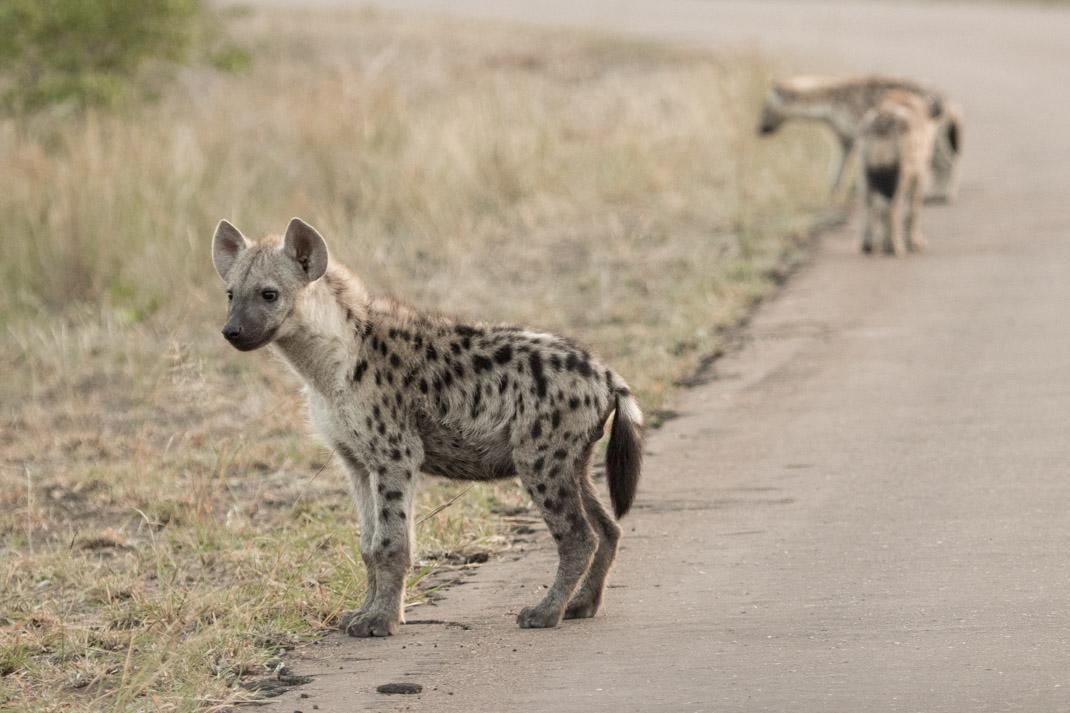 Shingwedzi hyena