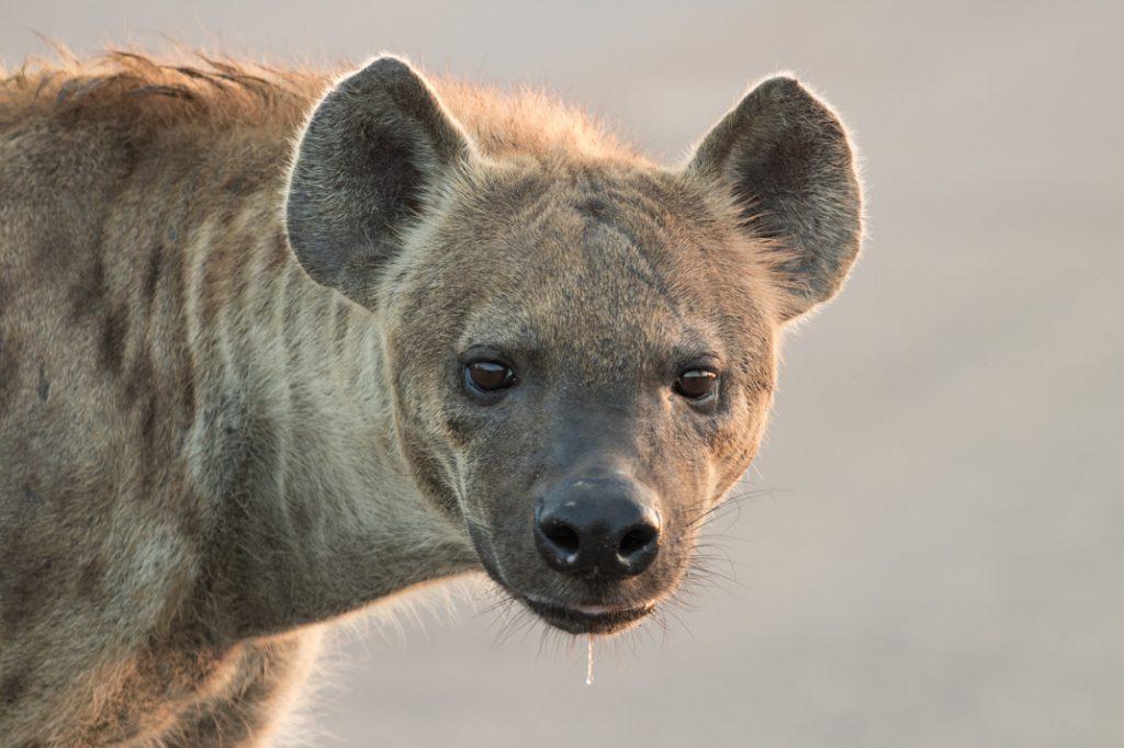 Hyena Drooling at Kruger National Park