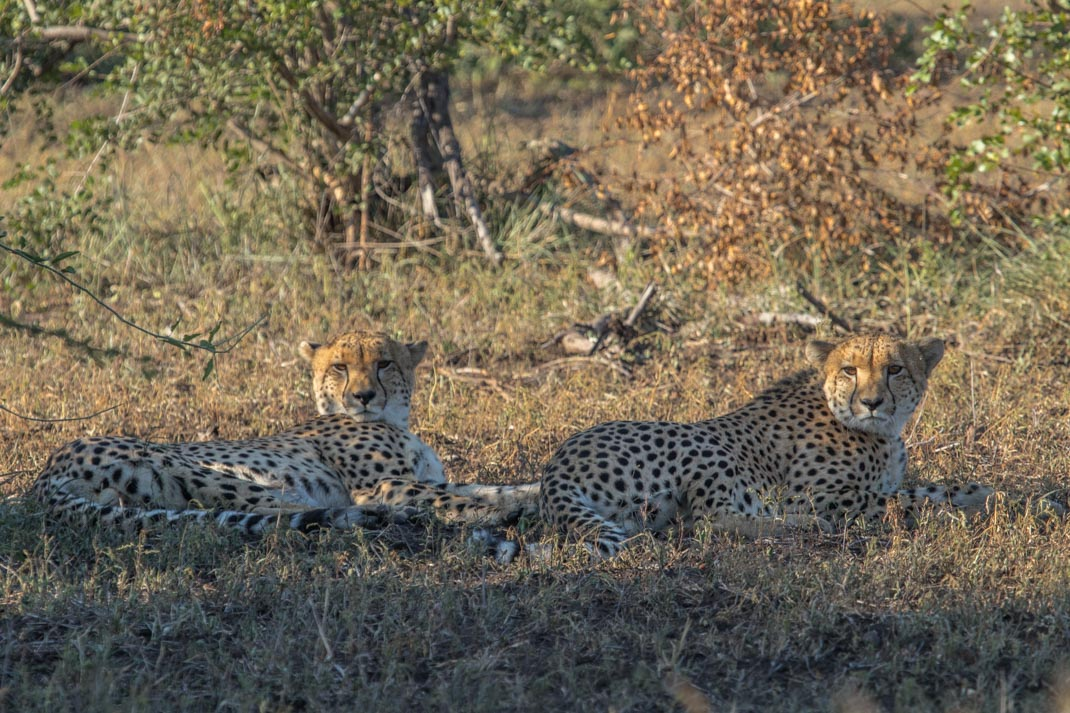 cheetahs resting at Kruger National Park