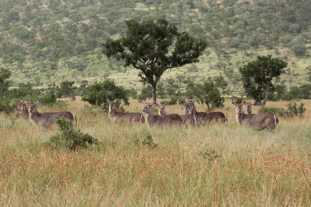 waterbuck at Kruger National Park