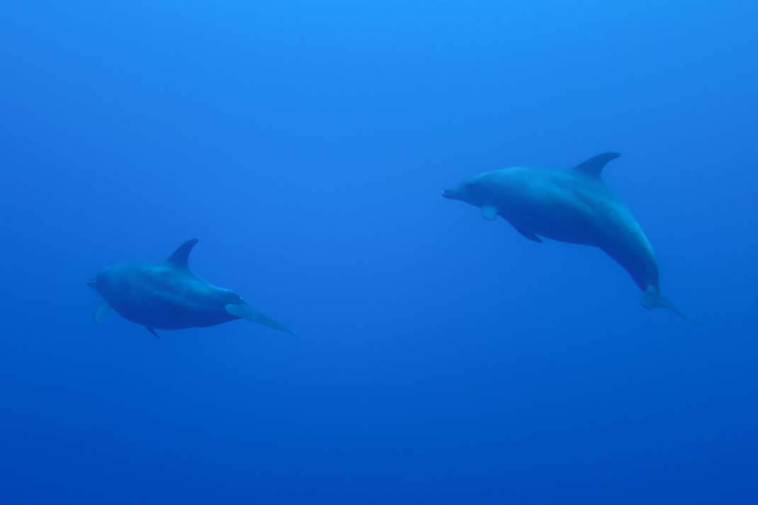 Spinner dolphins - Elphinstone The Red Sea Egypt