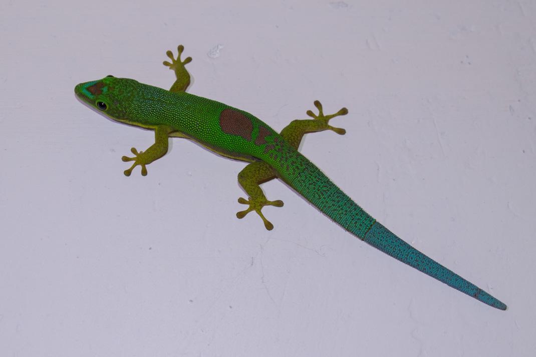 Feon'ny Ala Day Gecko