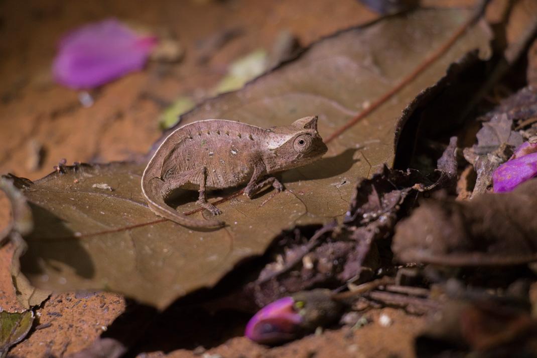 Stump-tailed Chameleon, Andasibe-Mantadia National Park