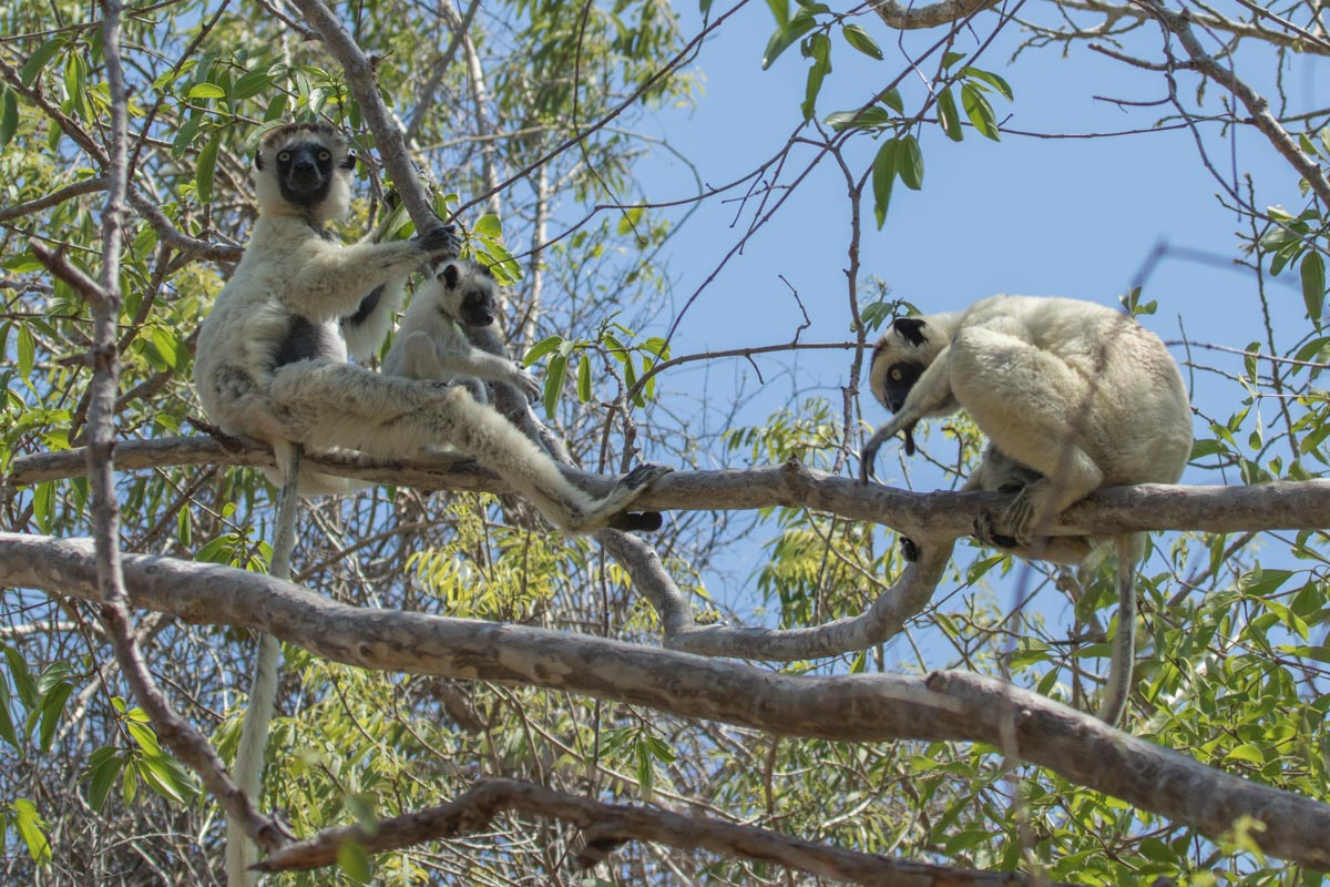 Verreaux Sifaka Family in Krindy Forest