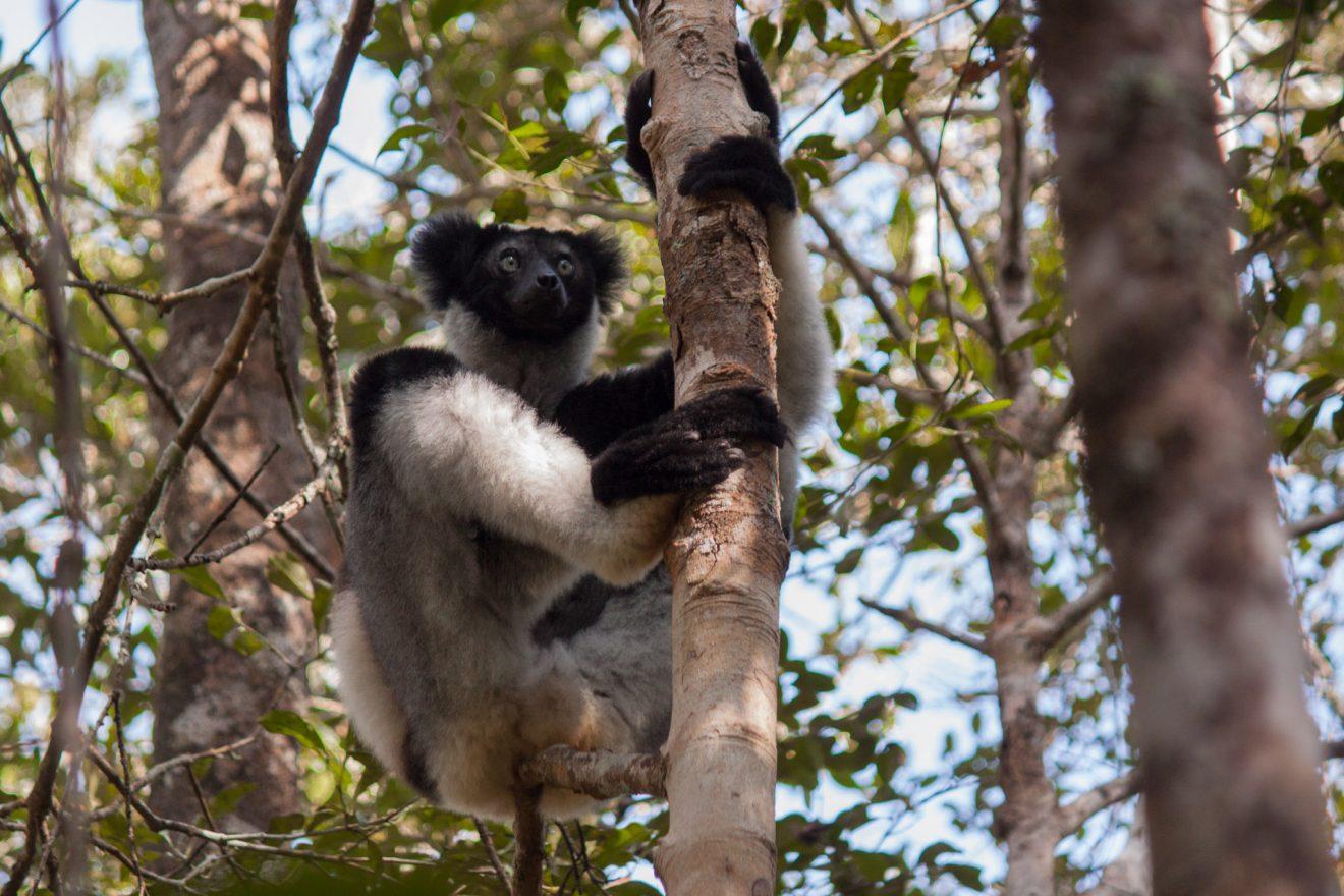 Indri in Andasibe-Mantadia National Park