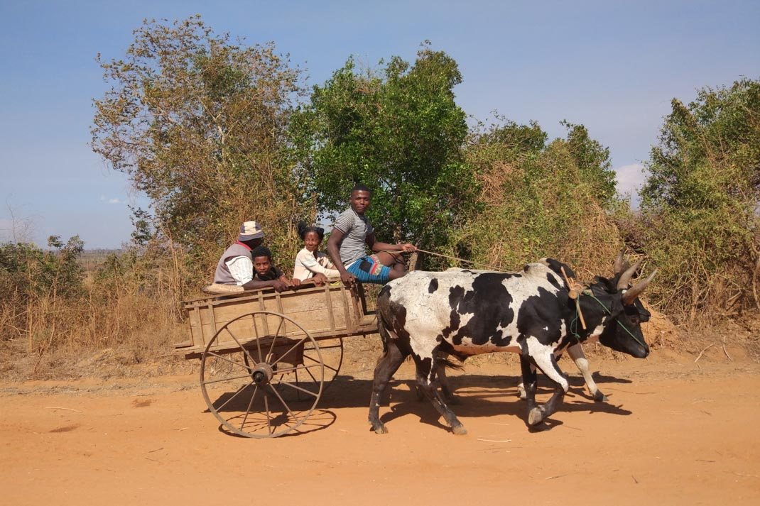 ox cart on the way to Kirindy Forest