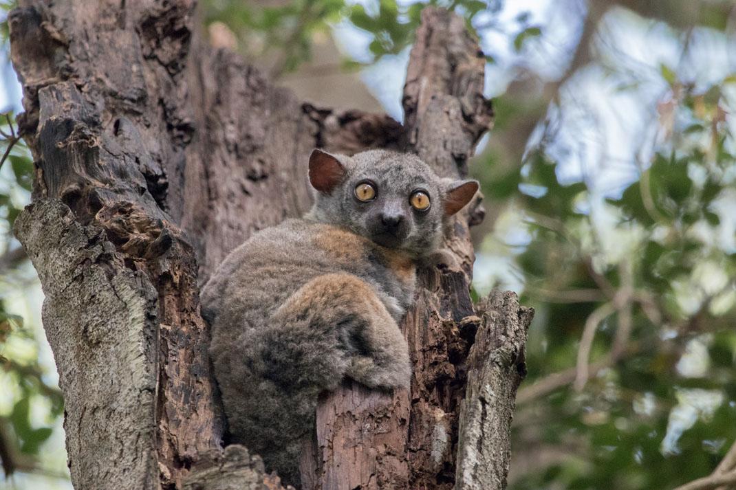 Red-tailed Sportive Lemur at Tsingy de Bemaraha National Park - Madagascar
