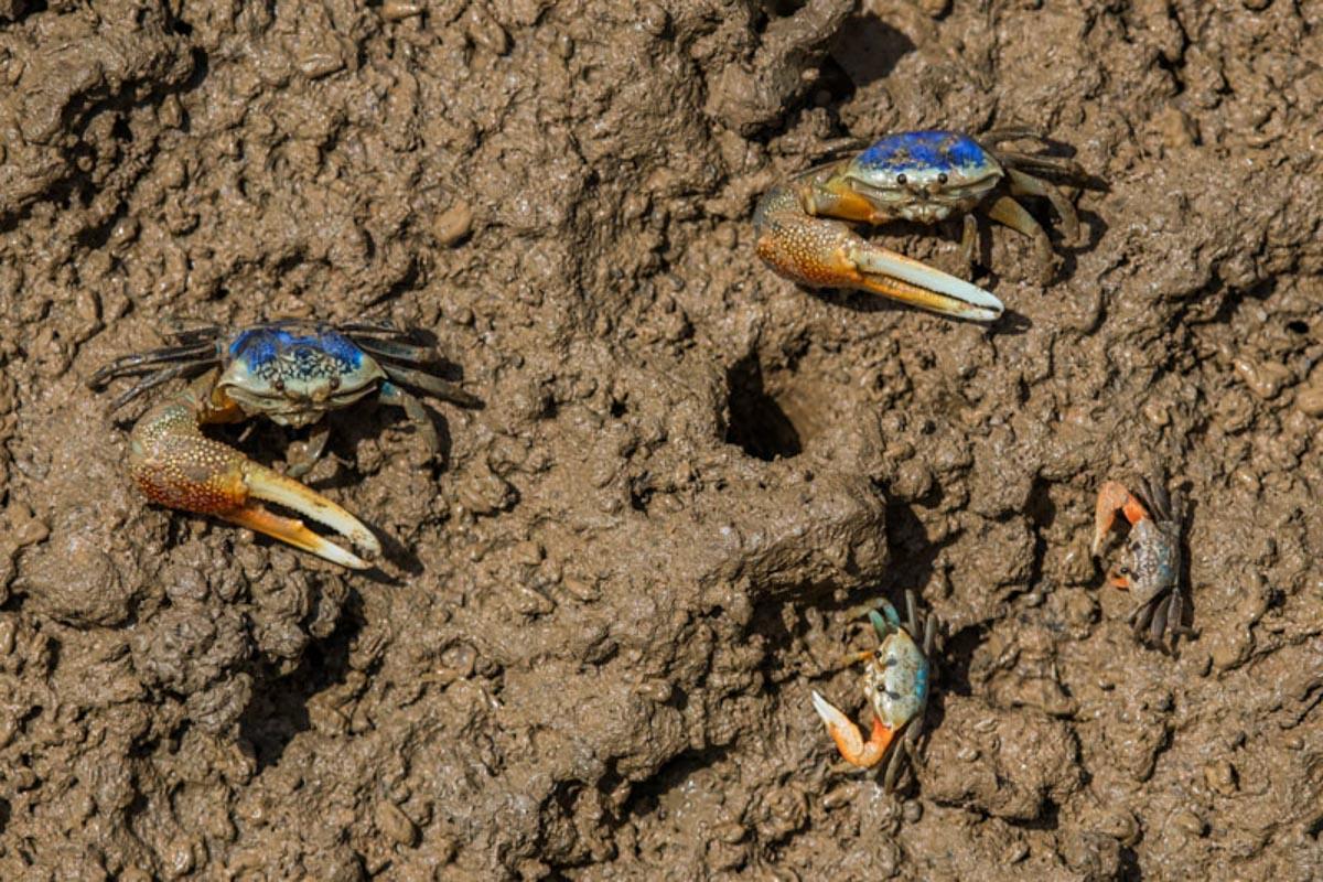 Morondava crabs