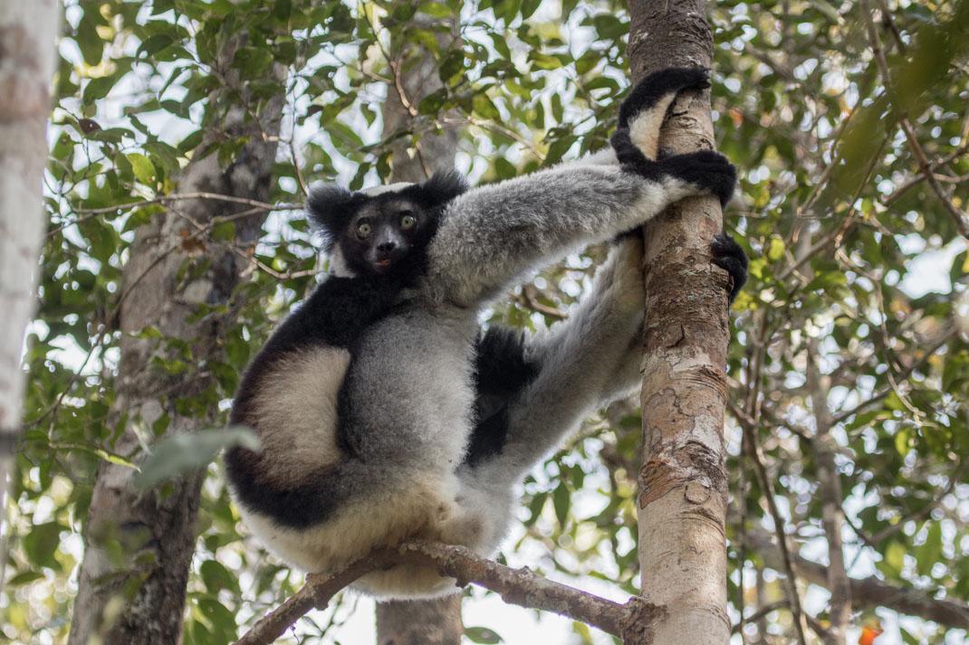 Indri in Analamazaotra Reserve (ANdasibe-Mantadia National Park)